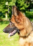 年轻蓬松在庭院里的狗品种德国牧羊犬特写镜头画象室外 图库摄影