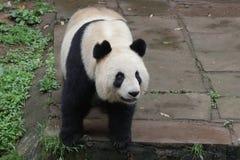 蓬松大熊猫在中国 库存图片