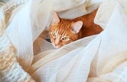 蓬松姜猫上升了入在地板放置的帷幕 库存照片