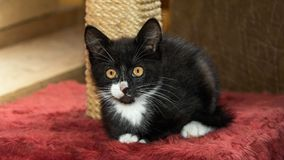 蓬松小猫看 免版税图库摄影