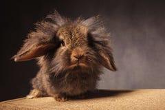 蓬松小的狮子头小兔 免版税库存照片