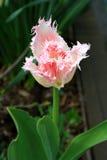 蓬松桃红色郁金香,选拔和宏指令 免版税库存照片