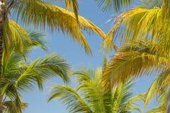 蓬松棕榈叶Amaizing美好的自然热带背景在蓝天的 图库摄影