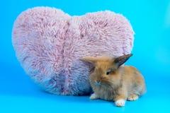 蓬松棕色兔宝宝坐与桃红色心脏枕头的干净的蓝色背景 库存图片
