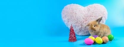 蓬松棕色兔宝宝坐与桃红色心脏的干净的蓝色背景 免版税库存照片