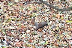 蓬松棕色灰鼠之间坐下落的叶子地毯在秋天公园 库存图片
