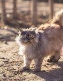 蓬松波斯猫 免版税库存照片