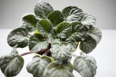蓬松深绿被雕刻的紫罗兰离开与露滴 免版税库存照片