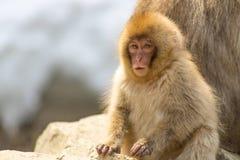 蓬松温暖的猴子 免版税库存照片