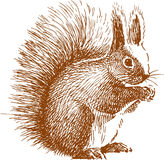 蓬松灰鼠 库存图片