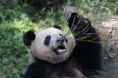 蓬松熊猫Cub在重庆吃着竹叶子 库存图片