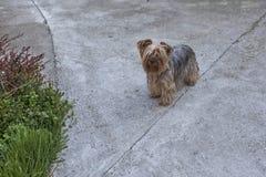蓬松狗在后院03 库存图片