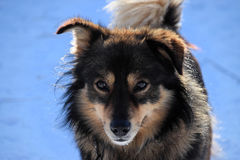 蓬松狗在阳光下反对蓝色多雪的背景 免版税库存图片