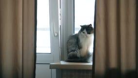 蓬松猫坐窗台并且观看他的大师 股票视频