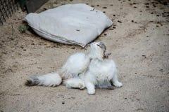 蓬松猫抓 免版税图库摄影