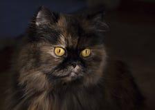蓬松猫画象与明亮的黄色眼睛的 免版税库存照片