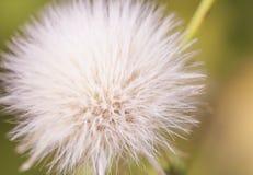 蓬松白色蒲公英花在一个晴朗的春日,宏指令 免版税库存图片