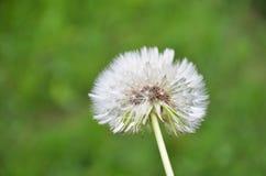 蓬松白色被播种的蒲公英 植物,秀丽,背景 免版税库存图片