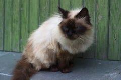 蓬松的猫 免版税库存照片