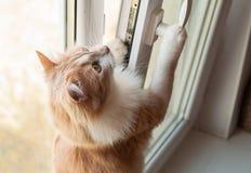 蓬松的猫 免版税图库摄影
