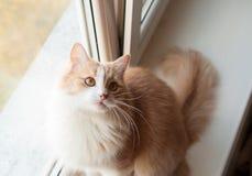 蓬松的猫 图库摄影