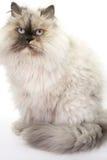 蓬松的猫 免版税库存图片