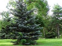 蓬松结构树 免版税库存照片
