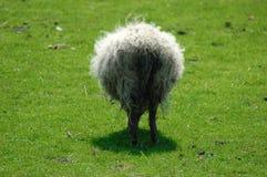 蓬松绵羊 免版税库存照片