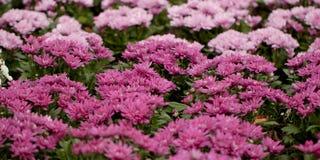蓬松美丽的桃红色翠菊 图库摄影