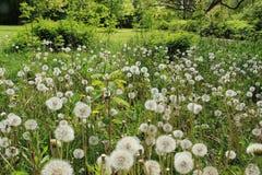 蓬松蒲公英在公园在城市格罗宁根在春天 免版税库存图片