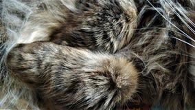 蓬松西伯利亚猫关闭的羊毛头发 图库摄影