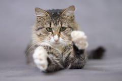 蓬松逗人喜爱的猫捉住某事或某人爪子 免版税库存图片