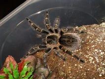 蓬松鸟蜘蛛在房子住 图库摄影