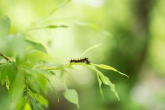 蓬松黑和橙色毛虫的特写镜头图象在新鲜的明亮的叶子的在雨以后 库存照片