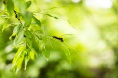 蓬松黑和橙色毛虫的特写镜头图象在新鲜的明亮的叶子的 免版税库存照片