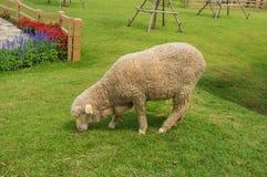 蓬松绵羊 库存照片