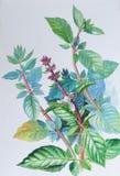 绘蓬蒿和绿色叶子的原始的现实草本水彩 免版税库存图片