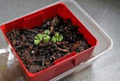 蓬蒿幼木在一个小红色容器的 库存图片