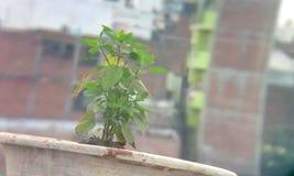 蓬蒿植物在印度 库存图片