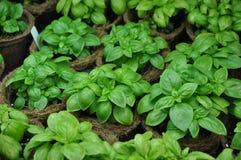 蓬蒿自温室种植罗勒属basilicum 免版税库存图片