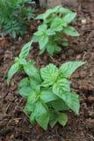 蓬蒿,罗勒属basilicum 库存照片