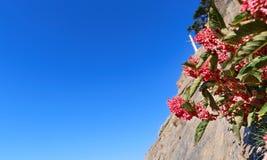 蓼属植物cuspidatum 库存照片