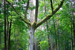 蔓延的结构树 库存图片