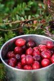 蔓越桔新鲜的杯子被采摘的沼泽 免版税图库摄影
