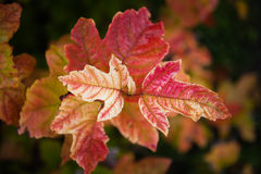 蔓越桔树红色叶子 库存照片