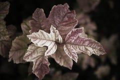 蔓越桔树红色叶子 免版税库存图片