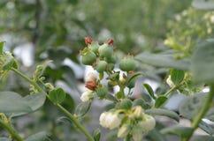 蔓越桔植物 库存图片