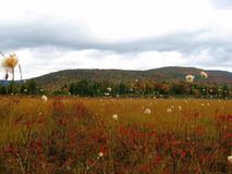 蔓越桔沼地, Monongahela国家森林,西维吉尼亚 库存图片