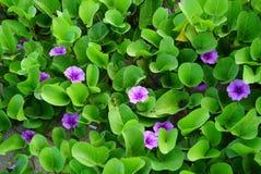 蔓延在沙子的开花的野生植物 免版税库存图片