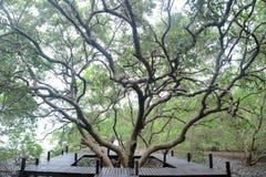 蔓延的结构树 免版税库存照片